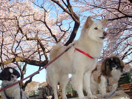 ゆきちゃん、和犬っぽいねー